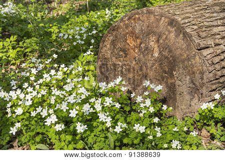 Wood Anemone Wildflowers