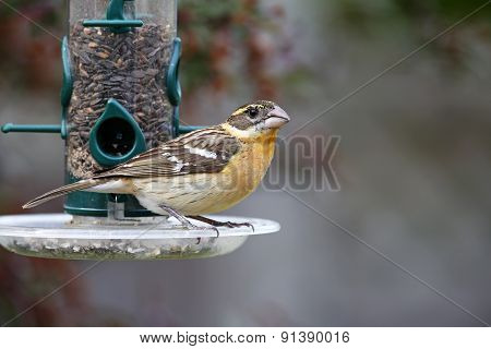 Female Black-headed Grosbeak