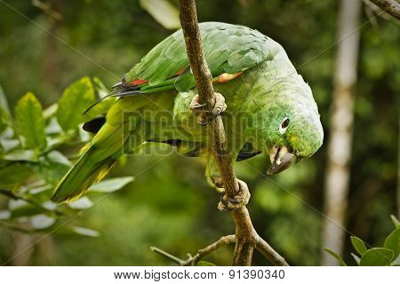 Beautiful green parrot in the rainforest , Yasuni National Park, Ecuador
