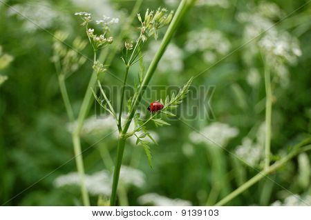 ladybug climbing a green halm