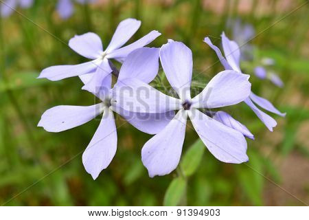 Blue Flower In Early Spring. Flower With Blue Petals.
