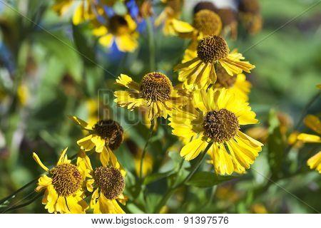 flowering gaillardia flowers