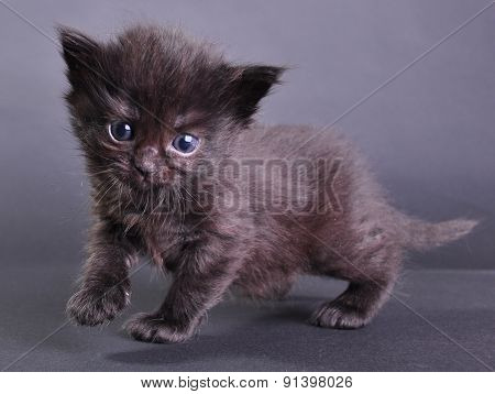 Small Black Kitten Walking Jumping And Running