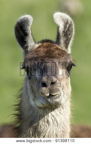 Llama Closeup.