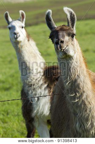 Llama Photo Bomb.