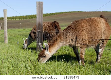 Grazing Through The Fence.