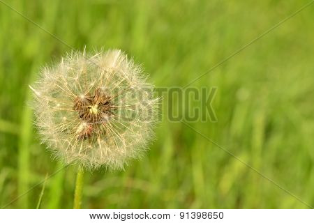 White Dandelion Fluff In The Early Spring