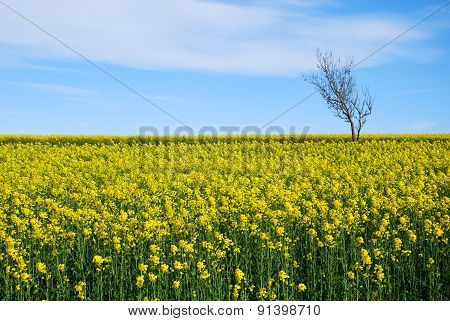 Solitude Tree In A Yellow Field