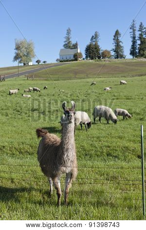 Llama And The Sheep.