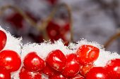 stock photo of rowan berry  - Close up of red rowan berries with ice crystals winter hoarfrost - JPG