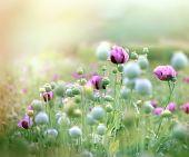 pic of poppy flower  - Meadow of purple poppy flowers and poppy pods - JPG