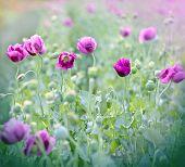 stock photo of poppy flower  - Beautiful poppy flowers  - JPG