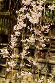 stock photo of ube  - Cherry blossoms or Sakura flowers in full bloom in spring - JPG