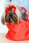 foto of dog breed shih-tzu  - Cute Shih Tzu in red female bag - JPG