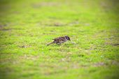 stock photo of grassland  - The Sparrow is finding food on the grassland - JPG