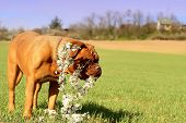 picture of dogue de bordeaux  - Dogue de Bordeaux  - JPG
