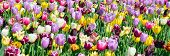 stock photo of plant species  - Tulips field is a perennial - JPG
