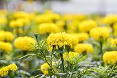 foto of marigold  - Marigold blossom in the garden in Thailand  - JPG