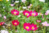 pic of cosmos flowers  - Cosmos flowers in the garden of Thailand  - JPG