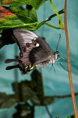 picture of butterfly  - Butterfly Papilio Swallowtail butterflies are large colorful butterflies in the family Papilionidae - JPG