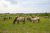 image of herd horses  - Herd of Konik horses in the wilderness in spring - JPG