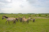 foto of herd horses  - Herd of Konik horses in the wilderness in spring - JPG
