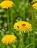 foto of dandelion  - Dandelions in the meadow - JPG