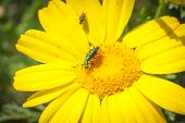 image of animals sex reproduction  - coupling daisy beetles with spectator. play gooseberry third wheel