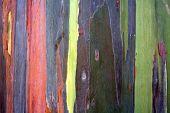 foto of eucalyptus trees  - Colorful pattern of rainbow eucalyptus tree bark as a background - JPG