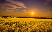 foto of rape  - Sundown and idyllic landscape of yellow rape field - JPG