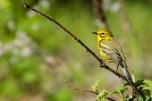 pic of prairie  - A close up of a Prairie Warbler. ** Note: Soft Focus at 100%, best at smaller sizes - JPG
