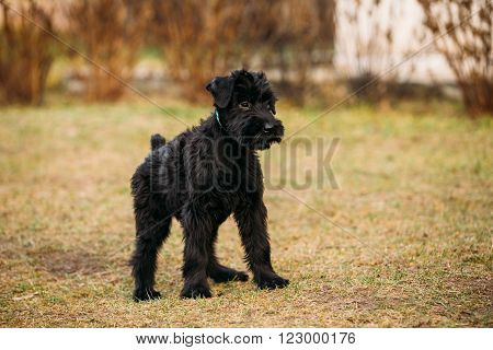 Black puppy of Giant Schnauzer or Riesenschnauzer dog outdoor
