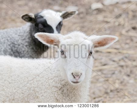 Beautiful newborn white lamb and a black lamp in the background looking straight forward