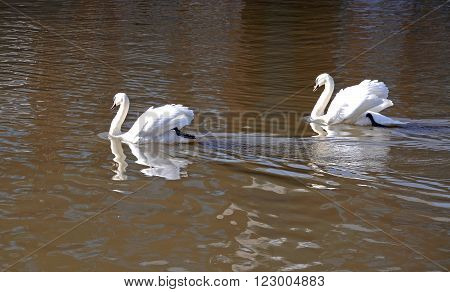 Pair of white mute swans swimming in the docks Gloucester Gloucestershire England UK Western Europe.