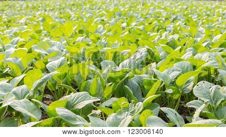 organic vegetable garden bog choy with green leaves