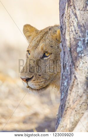 Large lioness standing behind tree in Serengeti Tanzania, Africa. Rests at the savannah.