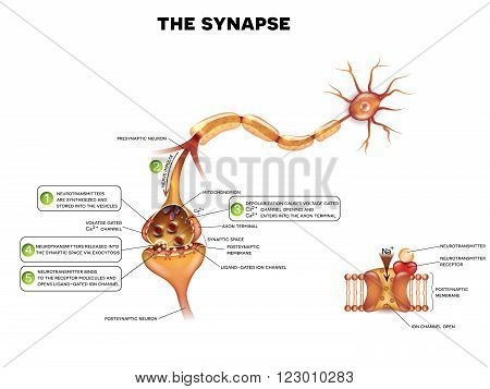 Synapse Detailed Anatomy