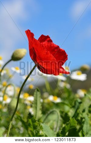 red opium poppy and flower  in the field