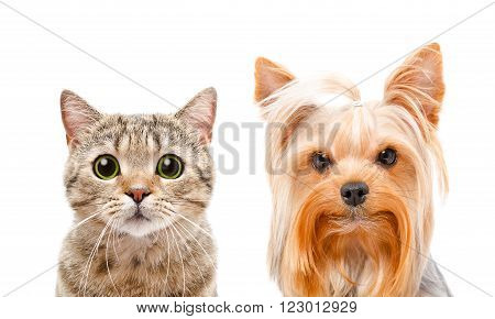 Portrait of cat Scottish Straight and Yorkshire terrier, closeup, isolated on white background