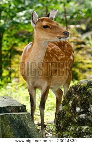 Curious deer close-up on a wood on the Swiss alps