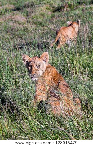 A couple of lion cubs in a game reserve, with one cub making eye contact