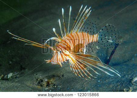 A bright orange lion fish swimming in a dark blue ocean.