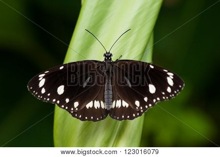 Common Crow, Euploea core, in tropical garden