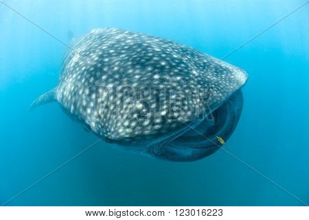 A female free diver swimming along side a beautiful whale shark