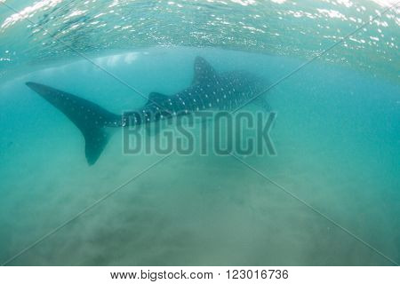 A gigantic whale shark swims peacefully away in the shallows