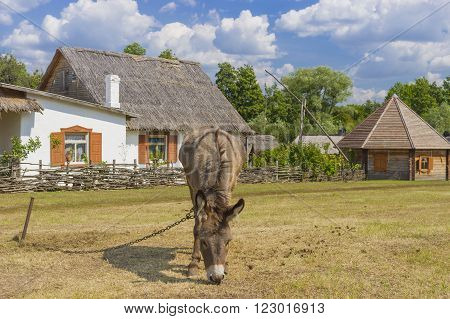 Landscape with attached donkey on a summer pasture in central Ukraine