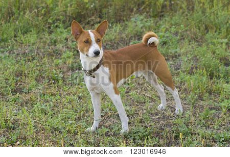 Cute Basenji dog - troop leader standing on the earth.