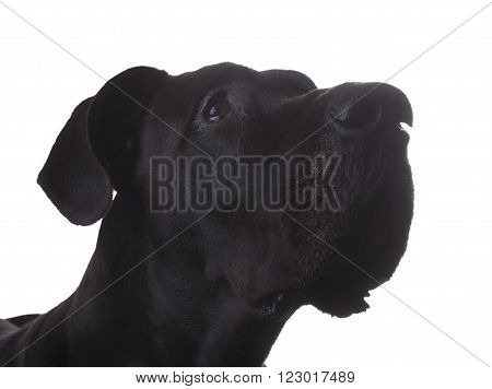 Portrait of a purebred black Great Dane on white looking up at something