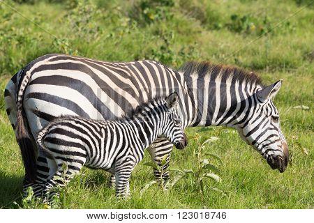 Mother and foal zebra, Equus quagga, grazing in Amboseli national park, Kenya, Africa.