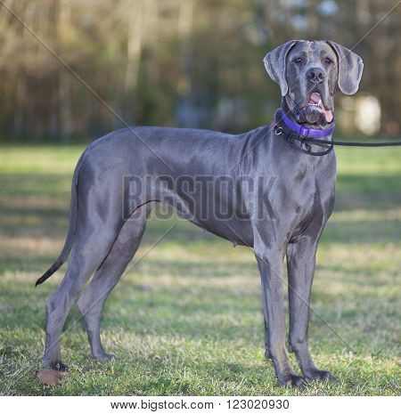 Large grey purebred Great Dane on a grassy field
